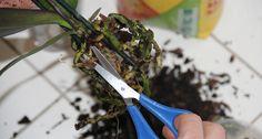 die besten 25 orchideen schneiden ideen auf pinterest orchideen pflege schneiden pflanzen. Black Bedroom Furniture Sets. Home Design Ideas