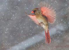 Cardinal by Krisnyc #animals #animal #pet #pets #animales #animallovers #photooftheday #amazing #picoftheday