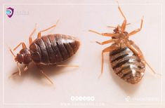 #bedbugs  damage to human - Does bed bugs in the home lead your family?  #نصائح #مكافحة #حشرة #الحشرات #البق #بق-الفراش #جدة #jeddah #bedbugs House Cleaning Company, Bed Bug Control, Rid Of Bed Bugs, Bed Bug Bites, Flea Spray, Pest Management, Pest Control Services, Garden Guide, Natural Home Remedies