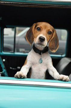 Beagle puppy If you love beagles Like I do, check out our Facebook Group https://www.facebook.com/LoveMyBeagle #Beagle