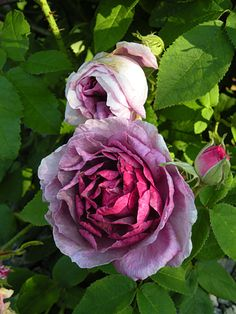 JENNY DUVAL Rose 4 ft in height Zone:	3 to 9   Light Range:	Sun to Full Sun   pH Range:	4.5 to 8   Soil Range:	Sandy Loam to Clay Loam   Water Range:	Normal to Moist