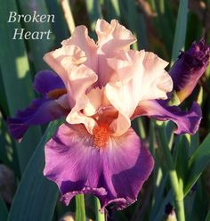 "Image result for ""broken heart"" iris"