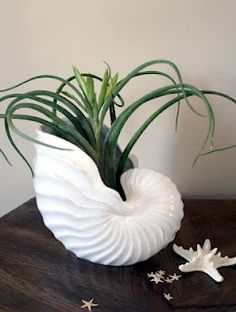 Air Plant in shell