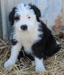 Emalee is an adoptable Old English Sheepdog Dog in Washington Court House, OH. These are 9 week old Old English Sheepdog/Boxer Mix Puppies. They are great little pups. They love people and other pet...