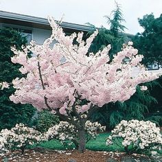 Multicolor Yoshino Cherry Flowering Tree In Pot (With Soil) Flowering Cherry Tree, Cherry Blooms, Flowering Bushes, Potted Trees, Trees And Shrubs, White Flowers, Beautiful Flowers, Baumgarten, Deciduous Trees