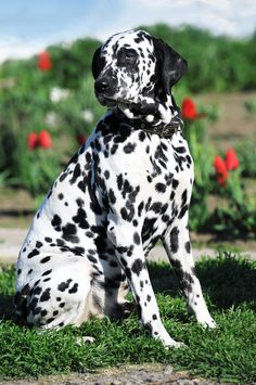 """The only spotted breed, the Dalmatian is alert and active, possessing great endurance, speed and intelligence. Their working and sporting heritage makes them suitable as both a family pet or performance animal, and they are often found in the show, obedience and agility rings, or galloping alongside a horse as a coach dog in """"road trials."""" Their short coat is white with black or liver (brown) spots."""