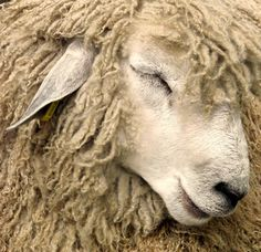 A very wool and shy sheep. Love the texture of the sheep wool. Farm Animals, Animals And Pets, Cute Animals, Wild Animals, Sheep Art, Sheep Wool, Ewe Sheep, Alpacas, Beautiful Creatures