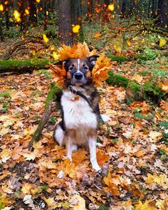 🎃 Halloween is coming! 🎃 #fall #autumn #trees #leaves #fire #element #dog #cute #pet #love  #luxury #photooftheday #photographer #woods #halloween #spooky #costume #great #magic #dream #season #world #universe #cosmos #milkyway #joy #pegan #witch #spell #trickortreat 🐾🍁🍂☔
