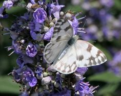 Checkered White (Pontia protodice) on Texas Laurel. Photographed by Ron (rnewhouse) for the Birds & Blooms February Photo Challenge.