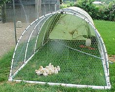 Chicken tractor made with pvc, chicken wire, and a tarp.