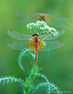 amazing shot of the dragonflies!!