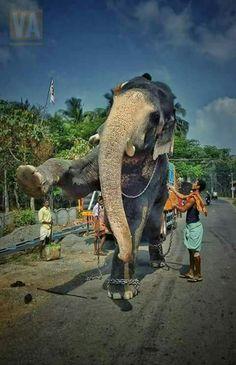 Thechikottukavu Ramachandran hd images | Kerala Elephants ...