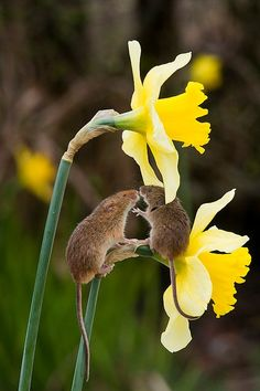 Harvest mouse on daffs    | nature | | wild life | #nature #wildlife  https://biopop.com/