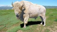 A white buffalo or white bison is an American bison possessing white fur, and is considered sacred or spiritually significant in several Native American religions; therefore, such buffalo are often visited for prayer and other religious rituals. Majestic Animals, Rare Animals, Animals And Pets, Wild Animals, Beautiful Creatures, Animals Beautiful, White Bison, American Bison, American Indians