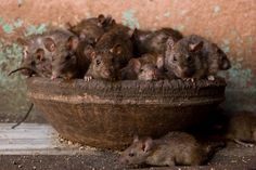 In India, there is a temple filled with rats on purpose! It's called Karni Mata, the Rat Temple, and these photographers … Rajasthan Inde, Le Taj Mahal, Bbc, Baby Animals, Cute Animals, Dumbo Rat, Fancy Rat, Pet Rats, Fauna