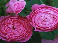 reine victoria rose