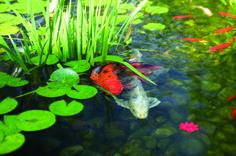 Beautiful pond #koi #pond #fish #Tetrapond