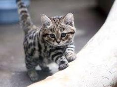 Απειλούμενο είδος γάτας-Black footed cat