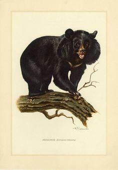 Vintage lithograph of the Asian black bear from 1956 Highlands Terrier, West Highland Terrier, Animal Art Prints, Canvas Art Prints, Asian Black Bear, Nature Illustration, Vintage Art Prints, Bear Art, Animal Fashion