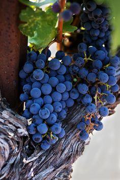 Blue Cabernet Grapes