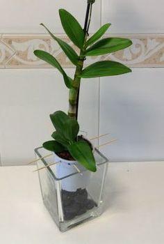 Una novata en Orquídeas : Como recuperar a una moribunda
