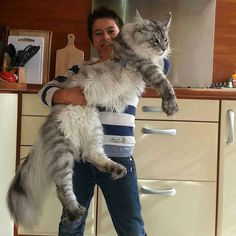 Yes that's Abigail Maine Coon, but that is also a small person or child ... look at the height of the kitchen counter.