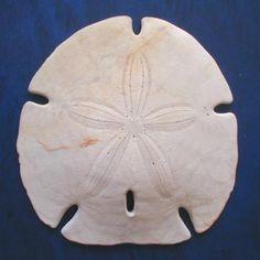 """Encope из отряда Clypeasteroida (""""песчаные доллары""""). Иглы этих ежей образуют сложный аппрат для просеивания мелкого песка, в котором обитают клипеастероиды. Питаются мельчайшими частицами органики, присутствующими в песке Плиоцен, США"""