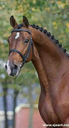 Zavall , Dutch Warmblood stallion, simply gorgeous!