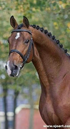 Zavall , Dutch Warmblood stallion, simply gorgeous!