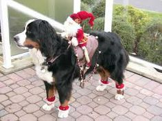 christmas bernese mountain dog