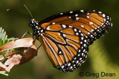 Butterflies and Moths of North America | Nymphalidae, Danaus gillipus (Queen)