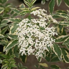 if planted near a pollinator variety such as Black Lace™ (item #67206), the flowers will turn into dark purple berries in fall (much appreciated by birds). A Proven Winners®/Color Choice® variety. 'Sanivalk' PPAF