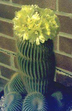 Cactus and Succulent Plant Mall - Picture Gallery Cactus E Suculentas, Cactus Planta, Cacti And Succulents, Planting Succulents, Planting Flowers, Bonsai, Desert Flowers, Bottle Garden, Unusual Plants