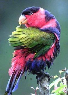 Pink, purple and green parrot