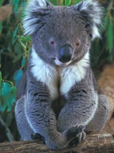 Koala Bear.  Hard to believe that they are on the endanger list.  Post and do a Google search to see how Australia is fighting for their bears.