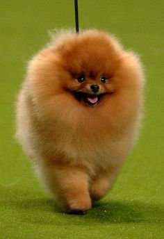 Lovely wee winner of the Toy category last night at Crufts - Pomeranian