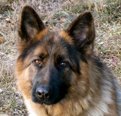 German Shepherd. So Intelligent.