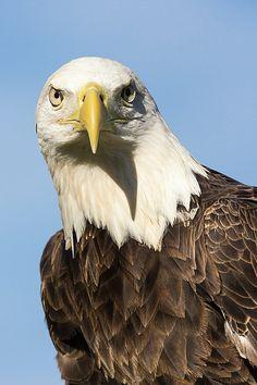 American Bald Eagle Portrait - Winged Ambassador by Dawn Currie Raven Photography, Artistic Photography, Eagle America, Eagle Wings, American Animals, Female Photographers, Fine Art America, Wildlife, Bald Eagles