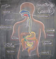 The Waldorf Way: digestive system Waldorf Curriculum, Waldorf Education, Homeschool Curriculum, Montessori Homeschool, Classical Education, Blackboard Drawing, Chalkboard Drawings, Chalkboard Lettering, Seventh Grade