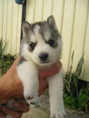 Husky Puppies For Sale, Siberian Husky Puppies, Husky Puppy, Siberian Dog, Dogs And Puppies, Siberian Huskies, Malamute Husky, Funny Animals, Cute Animals