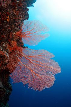 Sea Fan :  75 % of sea fans were killed off by a land-dwelling fungus from red soil due to deforestation or from African dirt absorbed into rain. It was a full-scale epidemic of sea-fans.- The Ocean of life