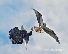 "Bald Eagle vs. Osprey...""Bald Eagles routinely harass Ospreys and steal their fish. We know of several instances in which Bald Eagles have killed Ospreys, but generally Ospreys are pretty good at staying out of harm's way. "" - photo by Kate Davis of ""Raptors of the Rockies"", please visit their site: http://raptorsoftherockies.org/ (Birds of Prey, Eagles)"