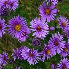 'New England' Aster/ VERY IMPORTANT IN HABITATS!  ATTRACTS: Monarch butterflies - used during migration.  Even better when planted with Joe Pye Weed and Milk Weed.