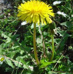 Grognards: Il tarassaco, fonte inesauribile di benefici Di Ca...