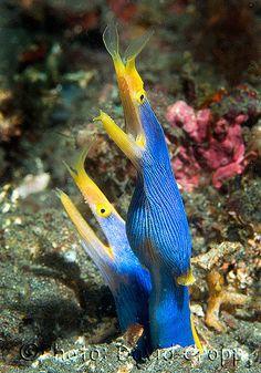 https://flic.kr/p/31Lk6   DSCF1529   Blue Ribbon Eel - Rhinomuraena quaesita