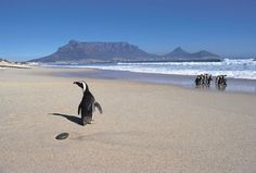 Penguin on Blouberg Beach South Afrika, African Penguin, Cape Town South Africa, African Beauty, Far Away, Pet Birds, Penguins, Beautiful Places, Around The Worlds