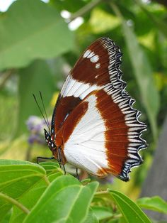Butterfly - Hypolimnas dexithea <3
