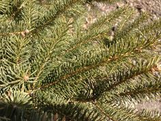 The Black Hills Spruce (Picea glauca) is very closely related to the White Spruce. In fact, it is a subspecies of the White Spruce. The Black Hills has dense, bright green needles and grows at a relatively slow pace, which makes it high in demand.  The Black Hills Spruce is a great accent tree and attracts a variety of birds.  http://hoosierhomeandgarden.com/black-hills-spruce-trees/