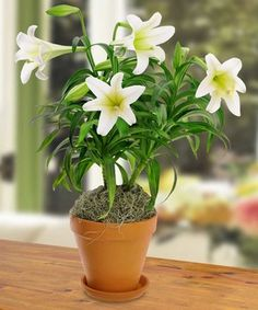 Beautiful white blooms adorn this double stemmed Easter Lily plant in foil with an elegant bow. - City Line Florist #Trumbull Florist