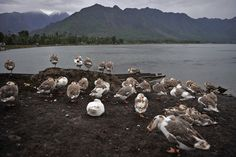 Ducks on the shore of Dal Lake in Srinagar, Jammu and Kashmir, Monday. Tauseef Mustafa/Agence France-Presse/Getty Images